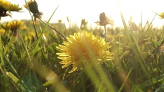 Dandelion meadow in the British countryside Stock Footage