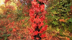 Red leaves of the maiden grapes in the autumn forest Stock Footage