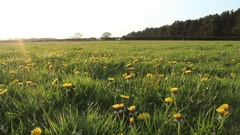 Dandelion meadow in Spring in the British countryside Stock Footage