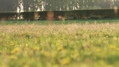 Pull focus shot of a field of flowering dandelions Stock Footage