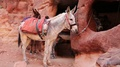 Donkey in ancient city of Petra, Jordan HD Footage