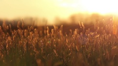 Natural Banner Text In Organic Field Filmed At Sunset / Sunrise Stock Footage