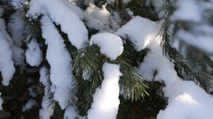 Winter pine forest, snowy branches Stock Footage