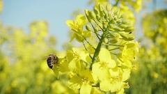 Bee and rapeseed flowers, slow motion Stock Footage