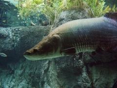 Arapaima, pirarucu, or paiche underwater Stock Footage