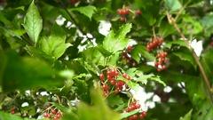 Branch of viburnum berries Stock Footage