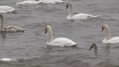 Swans riding rough seas waves and surf in storm Stock Footage