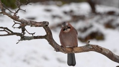 Eurasian Jay (Garrulus glandarius) adult in winter, perched on a branch while Stock Footage