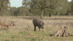 Black Iberian pig feeding on acorns in Holm Grove, Extramadura, Spain. Stock Footage