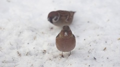 Common chaffinch in snow Stock Footage