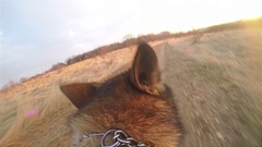 Dog running, First point of view POV, German shepherd with action camera Gopro Stock Footage