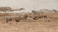 Hyena (Crocuta crocuta) fighting with Vultures over Hippo carcass Stock Footage
