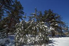 Coniferous forest after a snowfall on the background of the starry sky. Pho.. Stock Photos