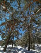 Starry sky above the pine forest. Photographed on a winter night in a full .. Stock Photos