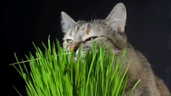 Cat eating fresh green grass Stock Footage