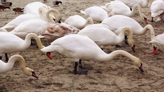 White mute swans feeding Stock Footage