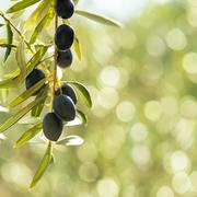 Olives tree, with negative space of a green bokeh background Stock Photos