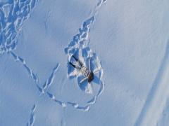Young cheerful woman is making snow angels. Slow motion. Aerial view. Stock Footage