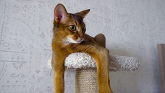 Abyssinian cat at pedestal Stock Footage