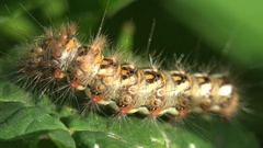 Insect Shaggy yellow caterpillar with black dots sitting on green leaf hairy Stock Footage