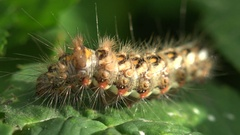 Insect Shaggy yellow caterpillar with black dots sitting on green leaf macro Stock Footage