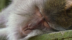 Monkey sleeping on temple's wall in Sacred Monkey Forest. Indonesia Stock Footage