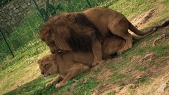 Lions mating Stock Footage