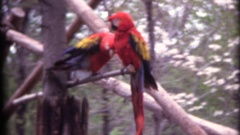 Macaw parrots sitting on perch captive animals Stock Footage