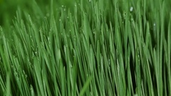 Sprouted wheat seeds. Wheat sprouts. Microgreens. Wheatgrass. Green grass. Stock Footage