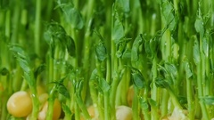 Pea sprouts. Germinated pea seeds. Microgreens. Green grass. Dew on the grass. Stock Footage