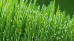 Sprouted wheat seeds. Wheat sprouts. Microgreens. Wheatgrass. Green grass. Dew o Stock Footage