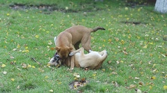 Two stray dogs playing in park on grass Stock Footage