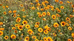 Brightly colored wild flower, Namaqualand, Northern Cape, South Africa Stock Footage