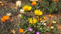 Brightly colored wild flowers, Namaqualand, Northern Cape, South Africa Stock Footage