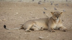 Lioness yawning with turtle doves in vicinity, Kalahari desert, South Africa Stock Footage