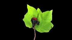 Time-lapse of drying Vilburnum leaves in RGB + ALPHA matte Stock Footage