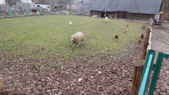 A sheep and a hen are sharing a piece of bread in a country, rural, scenery in a Stock Footage