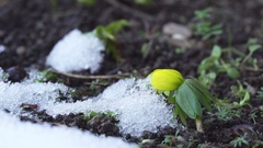 Single winter aconite flower video Stock Footage