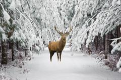Beautiful red deer stag in snow covered festive season Winter forest landscap Stock Photos