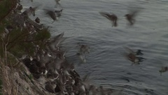 Wading dunlin birds landing on a wall to roost during high water Stock Footage