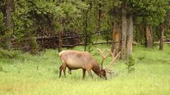 Large Bull Elk Western Wildlife Yellowstone National Park Animal Stock Footage