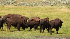 Wild Animal Buffalo Bull Males Fight Yellowstone National Park Stock Footage