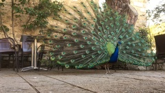 Male Indian Peacock Displaying Elongated Upper Tail Stock Footage