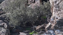 Griffon vultures (Gyps fulvus) nesting on cliff under a Howl oak tree, Stock Footage