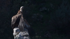 Griffon vulture (Gyps fulvus)  on cliff spreading his wings against wind, Stock Footage