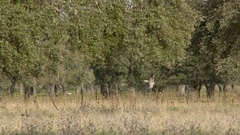 Common Cranes (Grus grus) jumping to shake acorns from tree in Holm Grove Stock Footage