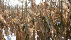 Many dry brown stems of corn in field on winter frosty day Stock Footage