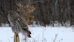 Great Grey Owl perched on post turns head in slow motion Stock Footage