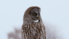 Great Grey Owl turns head away from and towards camera Stock Footage