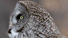 Great Grey Owl turns head towards camera close up Stock Footage
